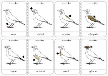 Budowa Ptaka Karty Printotekapl