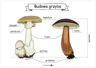 Budowa grzyba - plansza - Printoteka.pl